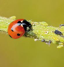 Traitement bio du jardin insectes auxiliaires for Ver gris potager