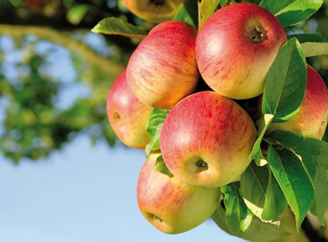 pommier, poirier: traitement contre le ver de la pomme, traitement