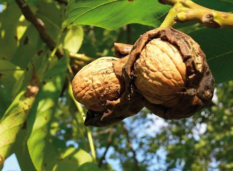 Noyer traitement contre le carpocapse des noix produit for Ver gris potager