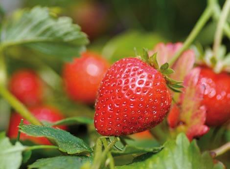 protéger les fraisiers