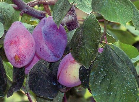 Prunier et mirabellier traitement contre le ver de la for Ver gris potager